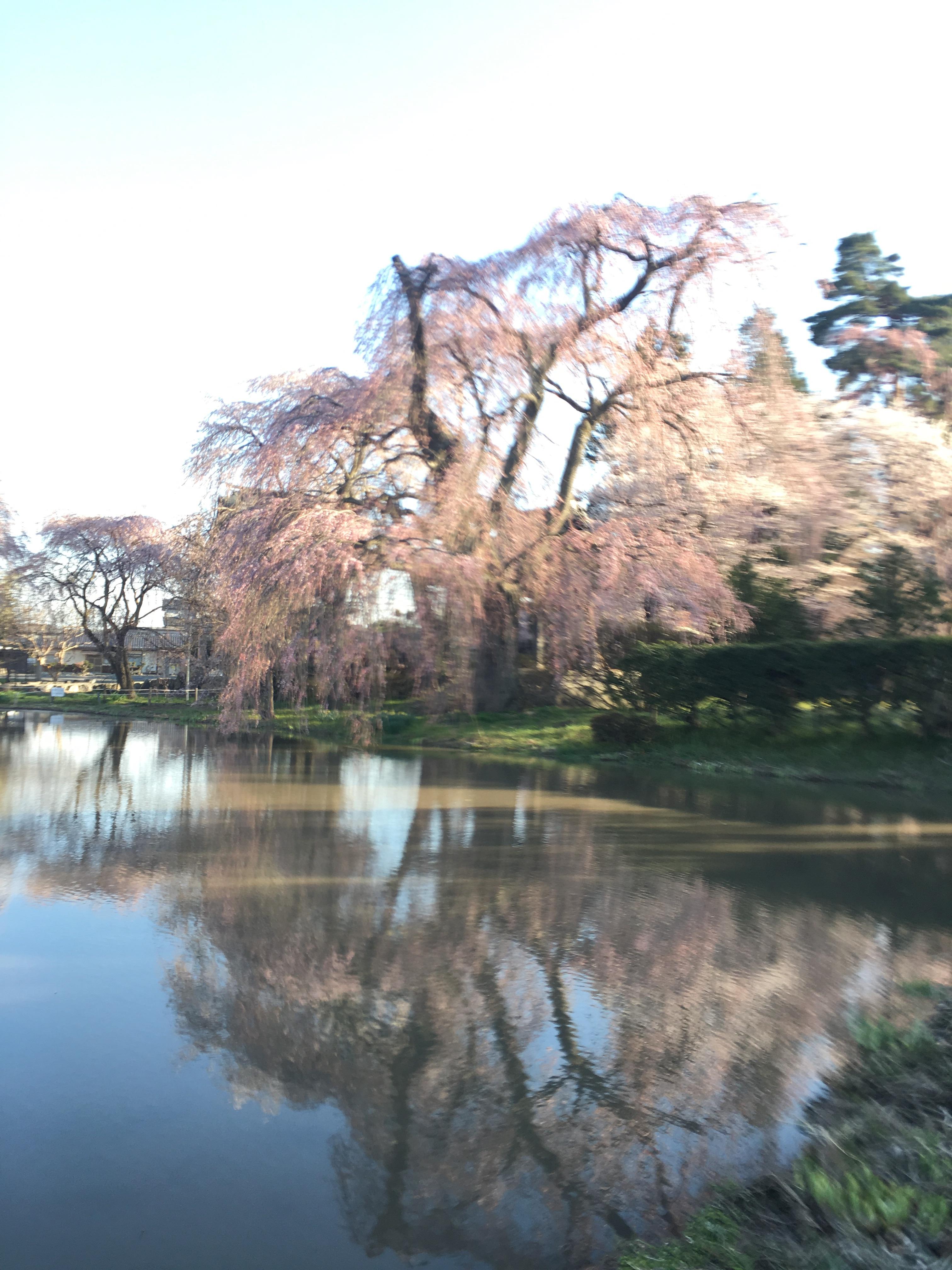 波田町、安養寺の枝垂れ桜